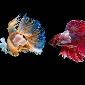 fish fighting