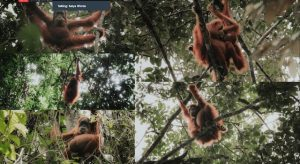 Orang Utan leuser ecosystem